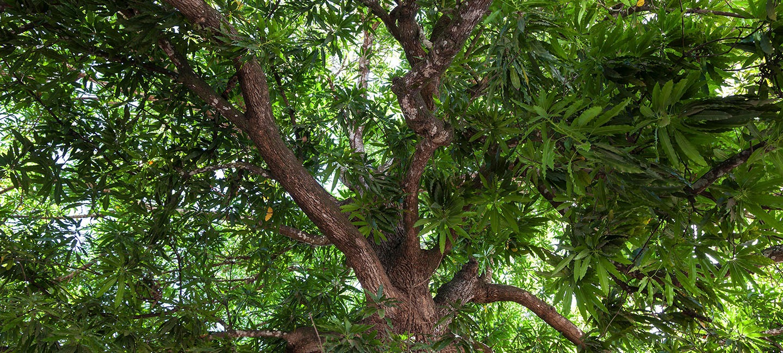Mango Wood_Banner_1
