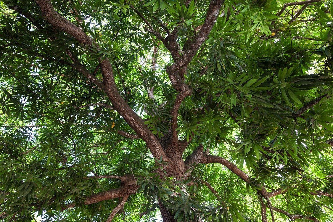 Mango Wood_Feature